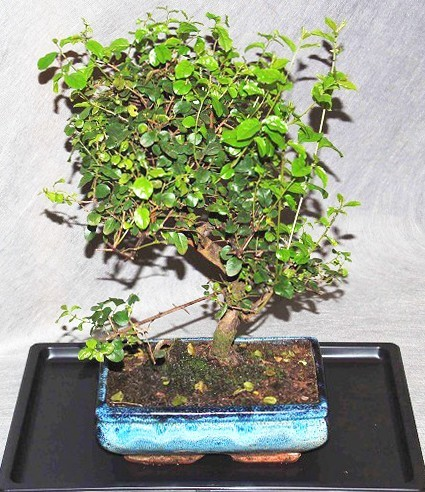 Bonsai Sagerethia