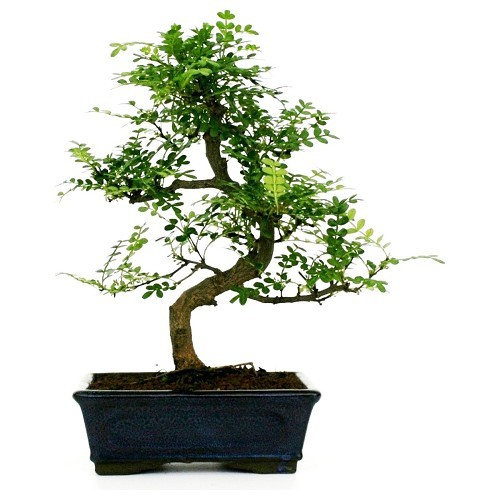 Bonsai Shinus Pepper o albero del pepe