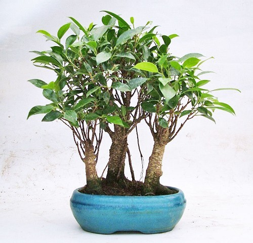 Ficus Retusa Bosco Bonsai