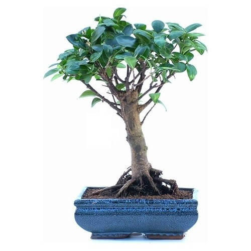 Ficus Formosanum broom shaped Bonsai