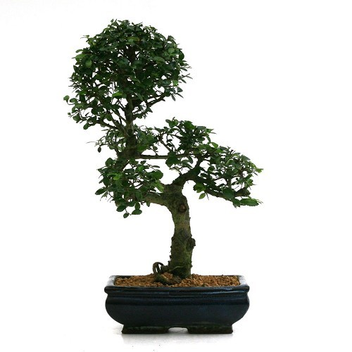 Informal upright Zelkova Nire or elm Bonsai