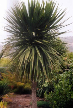 Artefiori palma di san pietro for Palma di san pietro