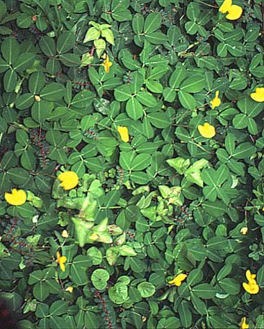 Artefiori arachide un fiore travestito da radice for Pianta noccioline
