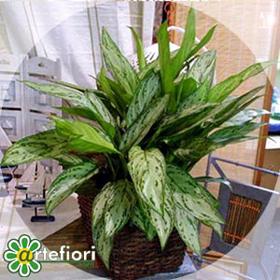 Artefiori aglaonema for Piante appartamento buio