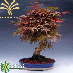 Artefiori bonsai da esterno acero for Bonsai da esterno