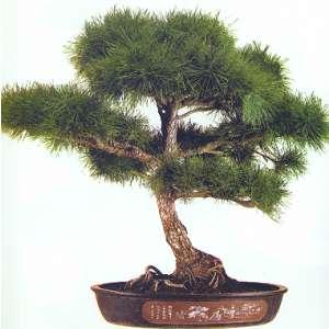 Artefiori bonsai da esterno il pino for Bonsai da esterno