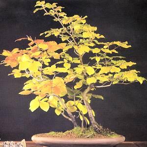 Artefiori bonsai da esterno il faggio for Bonsai da esterno