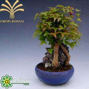 Artefiori bonsai da esterno for Bonsai da esterno