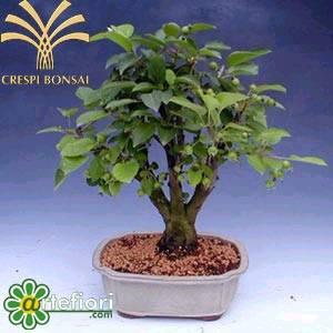 Artefiori bonsai da frutto cure specifiche for Bonsai da frutto vendita