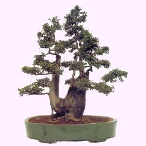 Artefiori bonsai da interno olmo for Bonsai da interno