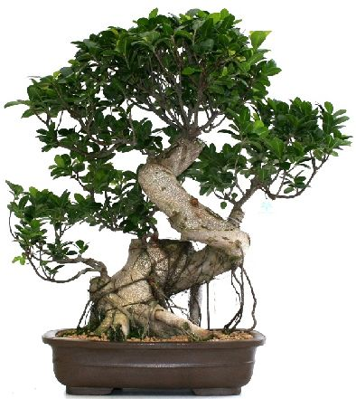 Come bonsai cura potatura mantenimento arte on line fiori for Vendita on line bonsai