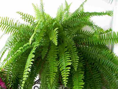 Artefiori splendido cespuglio felce - La felce pianta ...