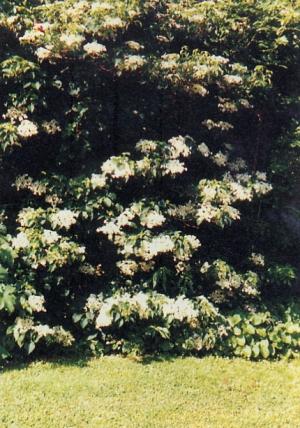 Artefiori ortensia rampicante - Ortensia rampicante petiolaris ...