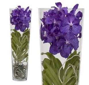 Leggi argomento aiuto per orchidea vanda for Orchidea prezzo