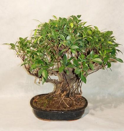 Piante grasse online tutte le offerte cascare a fagiolo for Comprare bonsai online