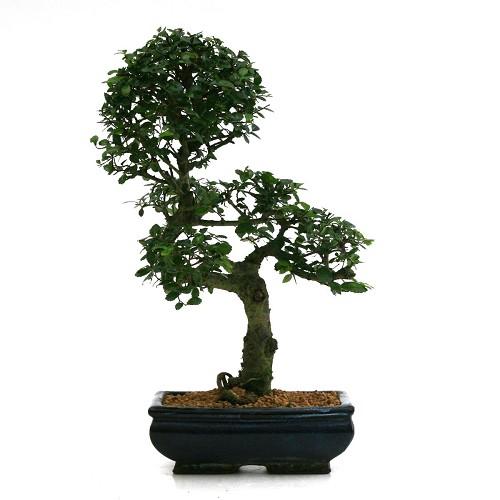 Catalogo » piante » bonsai » bonsai zelkova nire o olmo cinese a
