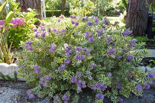 Galleria d arte e fiori genova vendita online piante fiori - Gardenia pianta da interno o esterno ...