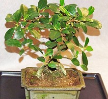 Piante Bonsai&nbsp;<span>Crespi Bonsai</span><br />Bonsai Ficus