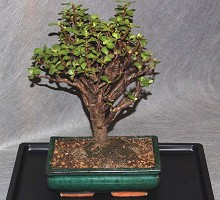 Portulacaria Bonsai  Crespi Bonsai