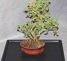 Piante Bonsai&nbsp;<span>Crespi Bonsai</span><br />Bonsai Serissa