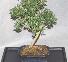 Piante Bonsai&nbsp;<span>Crespi Bonsai</span><br />Bonsai Ilex Crenata