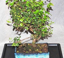 Piante Bonsai&nbsp;<span>Crespi Bonsai</span><br />Bonsai Sagerethia
