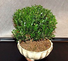 Buxus Hayrlandii Bonsai  Crespi Bonsai