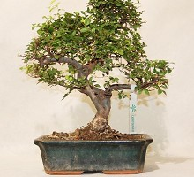 Plants Bonsai Zelkova Nire  Blumen