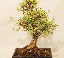 Plants Bonsai Portulacaria Crassula  Blumen