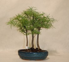 Plants Bonsai Pseudolarix Bosco  Blumen