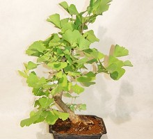 Piante Bonsai Ginko Biloba  Crespi Bonsai