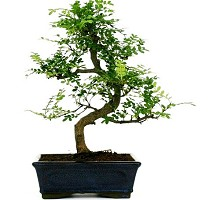 Piante Bonsai Bonsai Shinus Pepper o albero del pepe  Crespi Bonsai