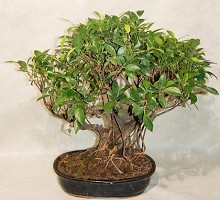 Ficus Retusa  Crespi Bonsai