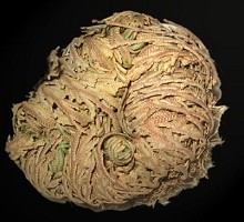 Plants Indoor Plants Rose of Jericho  Blumen