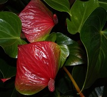 Plants Indoor Plants Anthurium d´Amour