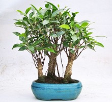 Piante Bonsai&nbsp;<span>Crespi Bonsai</span><br />Bonsai Ficus Retusa Bosco