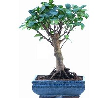 Ficus Formosanum broom shaped Bonsai  Crespi Bonsai