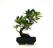 Informal Upright Ficus Formosanum Bonsai  Crespi Bonsai