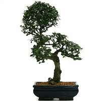 Plants Bonsai Informal upright Zelkova Nire or elm Bonsai  Blumen