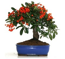 Piante Bonsai&nbsp;<span>Crespi Bonsai</span><br />Bonsai Pyracantha
