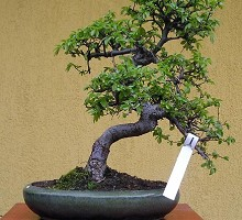 Piante Bonsai&nbsp;<span>Crespi Bonsai</span><br />Carmona macrophylla